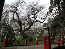 泉福寺・桜(小)
