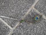 26落ちていたインド孔雀の羽