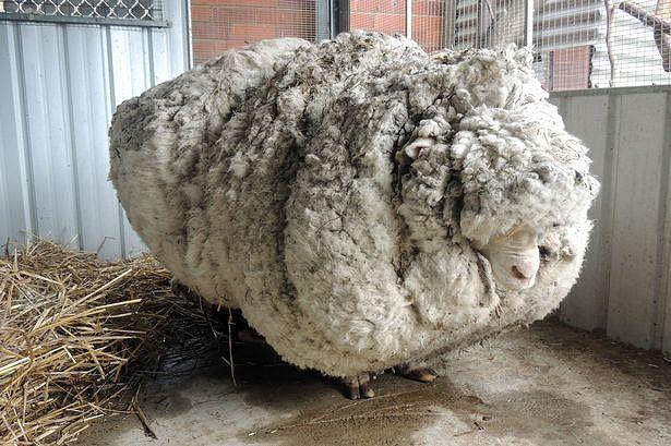 Wooliest-Sheeps