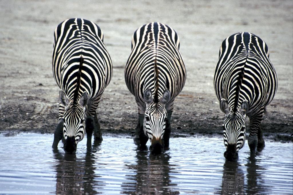 ゼブラ ドリンク 水のトンネル アフリカ ドリンク 哺乳類 3 Iphoneの壁紙高品質の画像をアニメーションは 材料を入力します 壁紙