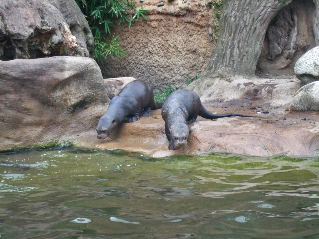 巨大カワウソ他の5つのサブの花嫁の壁紙 動物園 デュイスブルク 水