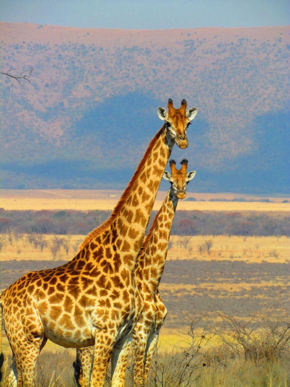 キリンの壁紙の木のハーフトーン 南アフリカ サファリ アフリカ 自然 野生動物 動物 高精細の画像は 材料を入力します 壁紙