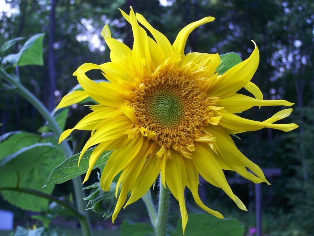 Iphoneから移動ひまわり 花 黄色 夏 壁紙区自然 花 明るい 高解像度の画像をx は材料入力します 壁紙