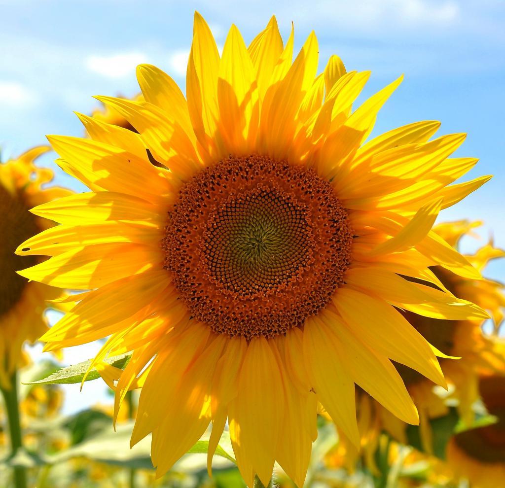 ひまわり 黄色の花 ひまわり畑 植物 ピ区iphoneの壁紙夏nn 黄色