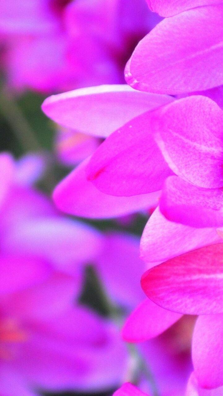 紫の花びら ロック画面の画像 Hdの携帯電話の壁紙 Iphone 8壁紙風景 壁紙