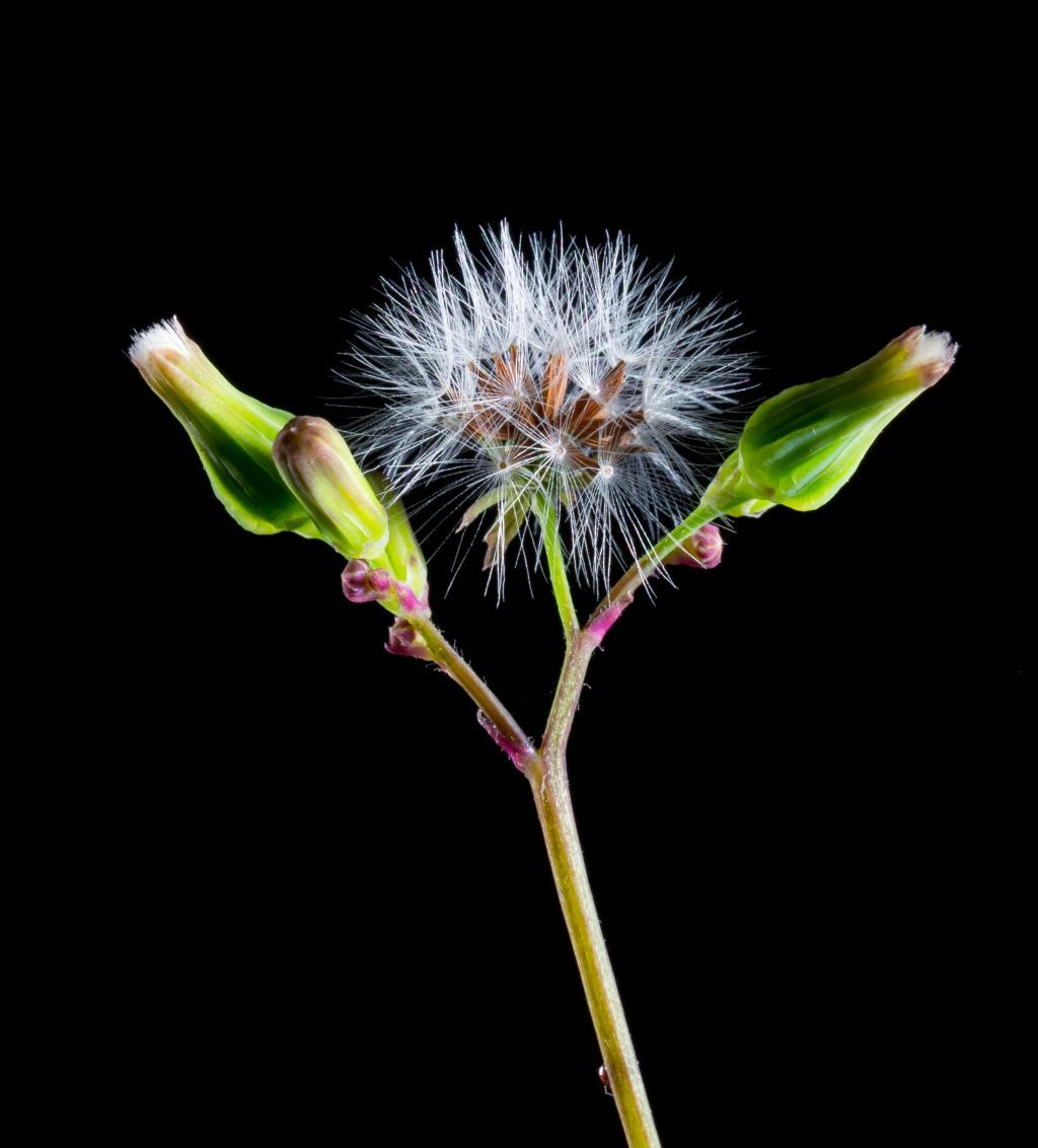 タンポポ 花 野生の花 開花 Marshmello壁紙ブルーム Blueme