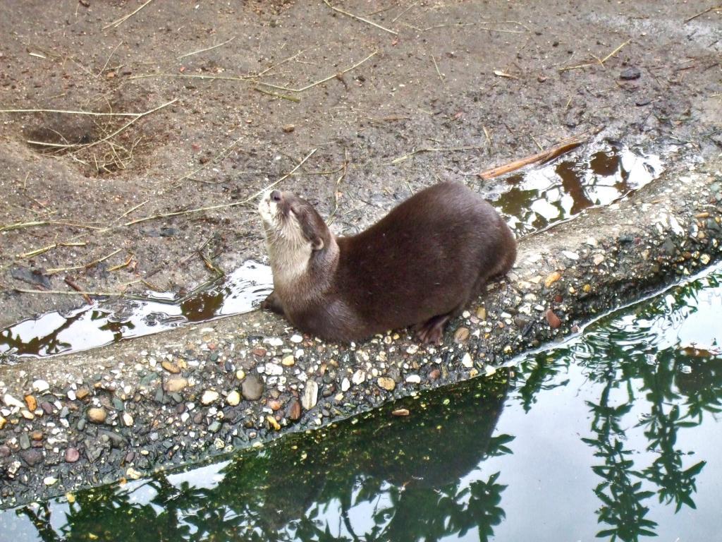 小ツメガエルカワウソ 楽しみ 動物園 ソムリエ 水 高精細画像