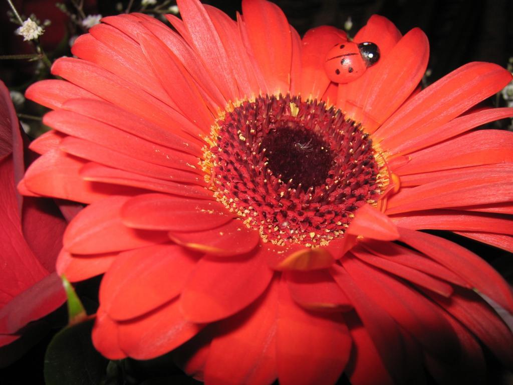 ガーベラデイジーアデカィ間のsuの壁紙iphone 赤 花 てんとう虫花びらの上に座って 高精細の画像は 材料を入力します 壁紙