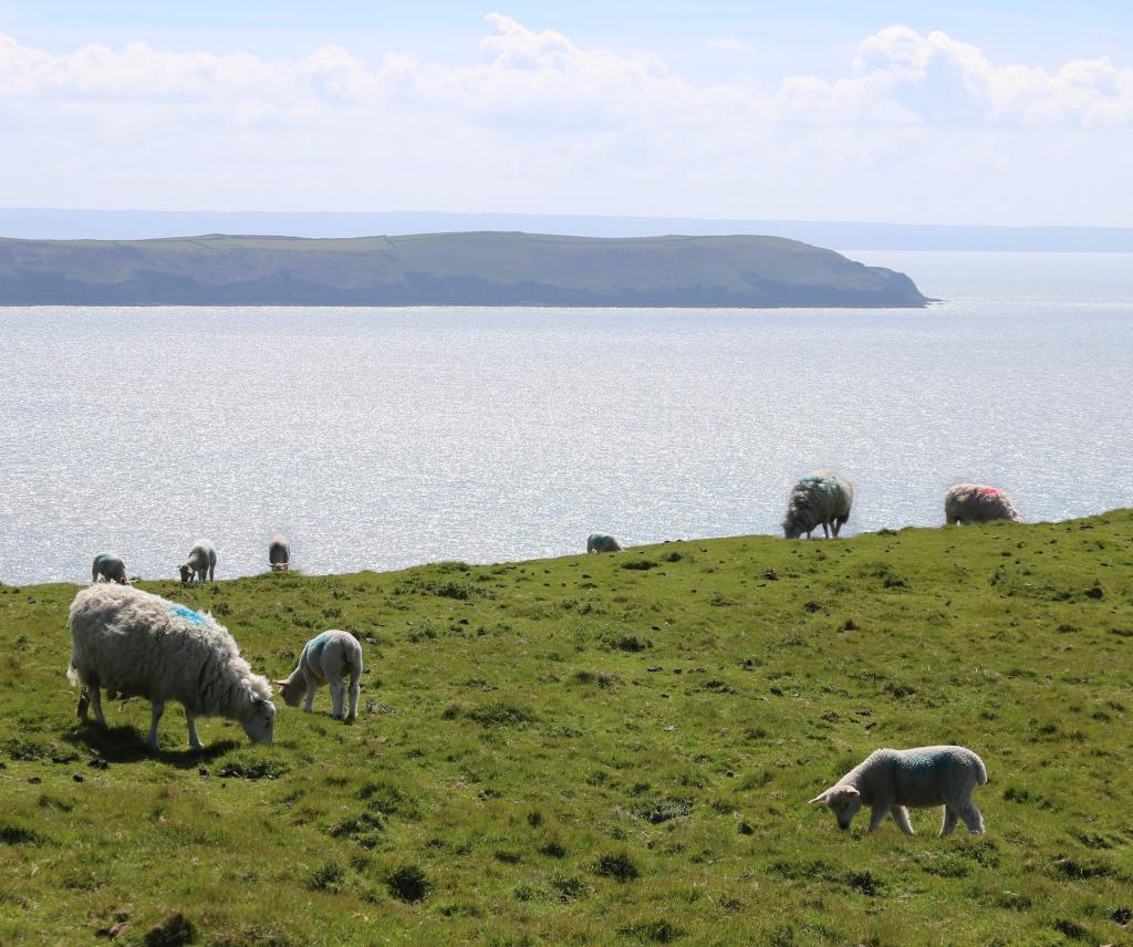 羊 子羊 海 ビーチ フィールド 農場 農業 高品質の画像マイクロソフト壁紙 材料入力します 壁紙