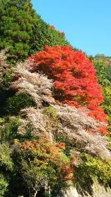 四季桜紅葉