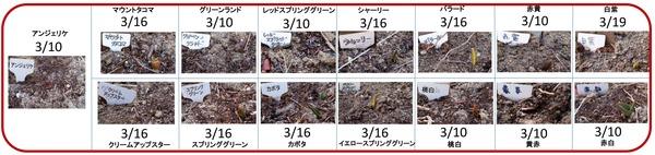 2013チュリップ発芽日 - コピー (2)