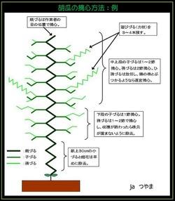 胡瓜の摘心方法