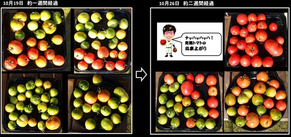 完熟トマトの製作中2週間目