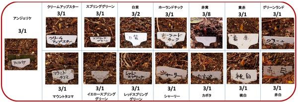チューリップ2014発芽
