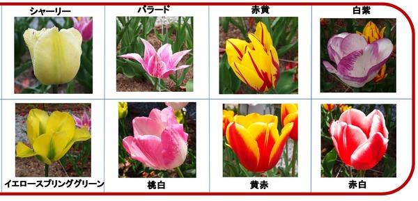 20130511TULIP-1 - コピー (2)