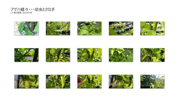 アゲハ蝶々・・・幼虫とさなぎ