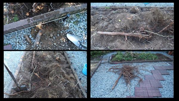 メタセコイアの根