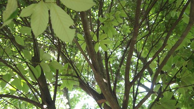 小楢と木漏れ日