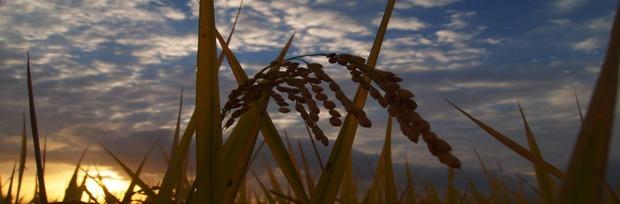 harvest season 米