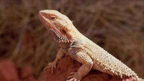 ウォンバット←めっちゃ牙が鋭い爬虫類やろなぁ…