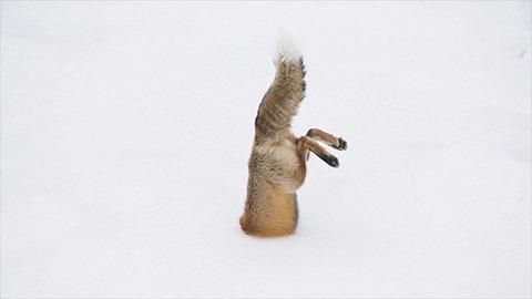 キツネ「雪やんけ、とびこんだろ!」
