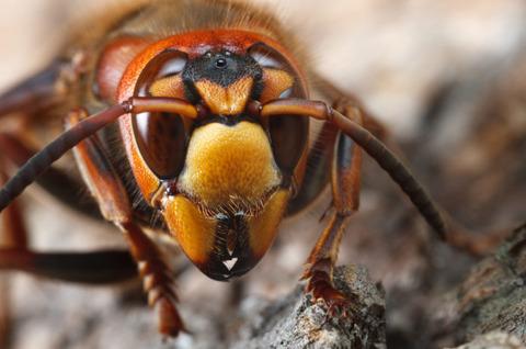 スズメバチ「なに人の顔ジロジロ見てんだよ」