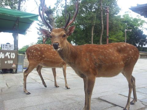 奈良公園鹿「おっ!あいつ鹿せんべい買うやんけ!」