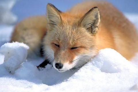 狐「こん!キツネだけどモフモフする?w」