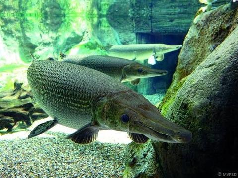 世界の淡水魚の種類→12000 校長→12000