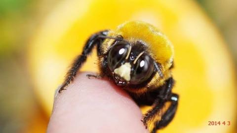 クマバチとか言うハチのイメージから乖離している奴