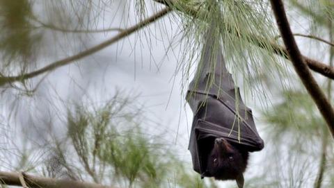 【コピペ集】(ヽ´ん`)「コウモリは免疫が~」 彡(^)(^)「めっちゃ早口でチー牛食ってそう」 (ヽ´ん`)「……」
