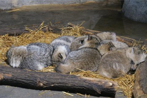 日本の動物園「タヌキあげるわ」外国の動物園「おおきに、珍獣あげわ」