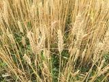 2015桑名もち小麦