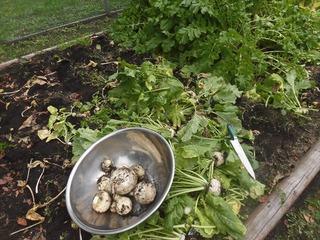 H30.10.10 野菜収穫 (6)_R