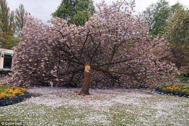 """【これは酷い画像】イギリスの公園で""""桜だけ""""切り倒される事件が発生‥樹齢50年以上、満開の桜も"""