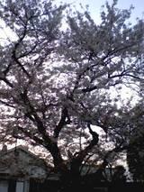綺麗な桜!!