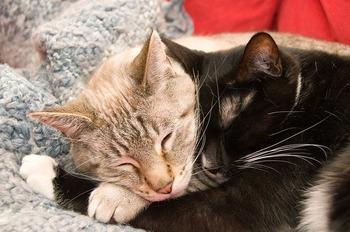 https://pixabay.com/ja/photos/猫-かわいい-抱擁-毛皮-愛-277116/