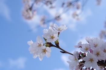 https://pixabay.com/ja/photos/桜-植物-花-樹木-春の花-2288720/