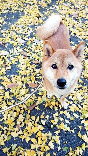 https://pixabay.com/ja/photos/柴犬-イチョウ-秋-犬-3814360/