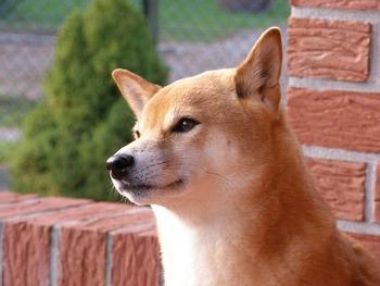https://pixabay.com/ja/photos/芝-壁-夏-赤-犬-動物-2937633/