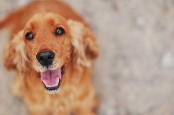 https://pixabay.com/ja/photos/犬-・-スパニエル-2388782/