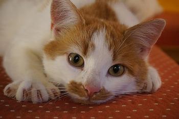 https://pixabay.com/ja/photos/猫-ネコ-ペット-国内の猫-2830802/