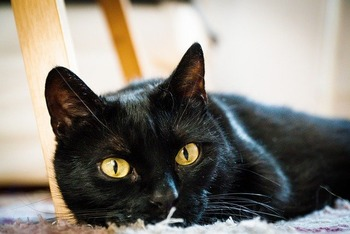 https://pixabay.com/ja/photos/猫-黒-国内の猫-懸念-目-4921123/