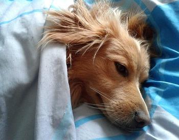 https://pixabay.com/ja/photos/犬-動物-お気に入り-睡眠-1359451/