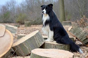 https://pixabay.com/ja/photos/犬-コリー-ボーダーコリー-2084998/