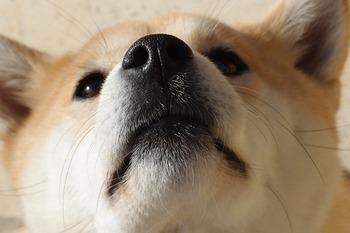 https://pixabay.com/ja/photos/犬-柴犬-鼻-1203351/