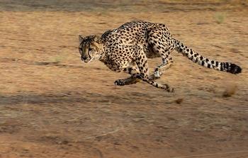 cheetah-2859581_640