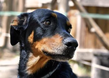 https://pixabay.com/ja/photos/犬-beauceron-頭-5668901/