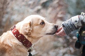 https://pixabay.com/ja/photos/犬-ラブラドール-ペット-1861839/