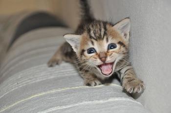 https://pixabay.com/ja/photos/ニャー-小さな猫-猫-動物-216005/